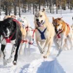 Huskies Finnland